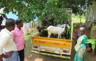 Ziegen für arme Frauen in Indien